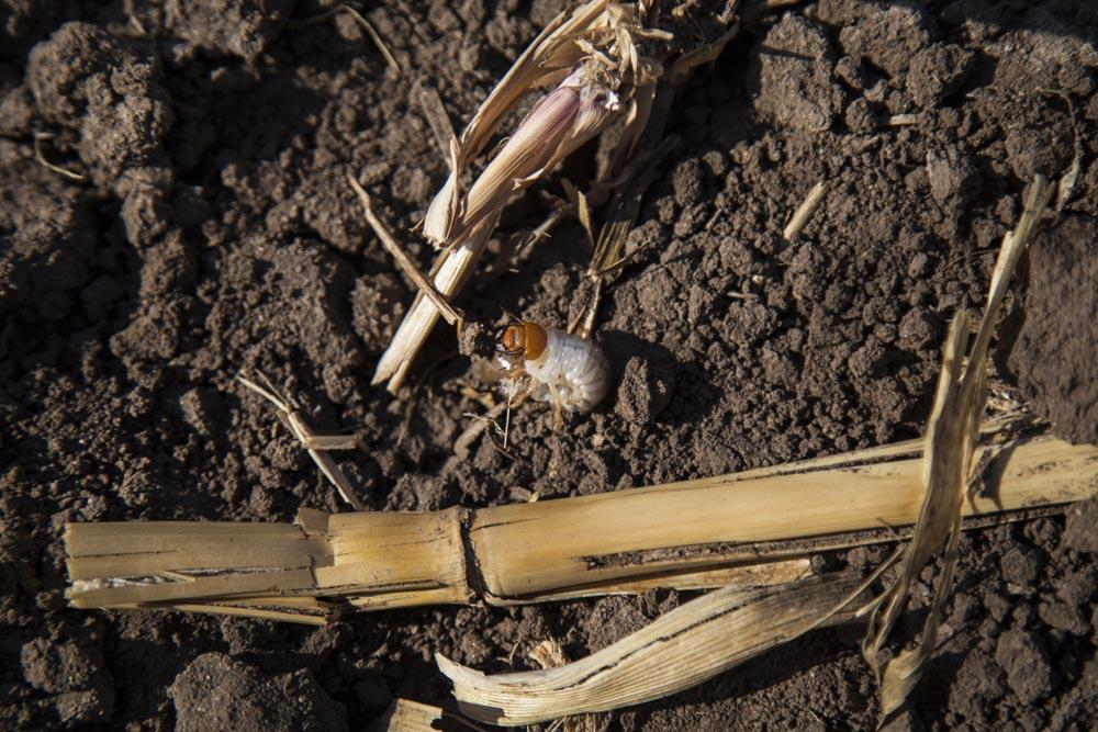 La gallina ciega. Gusano enemigo de las plantas incipientes del maíz.