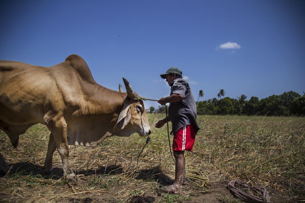 El final del día. CHICO – RITO pone a sus toros a pastar en un terreno recién cosechado y para que el animal tome un descanso después de nueve horas de actividad.