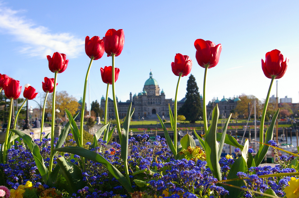 Parliament Bulding with Tulips by Deanne Gillespie.jpg