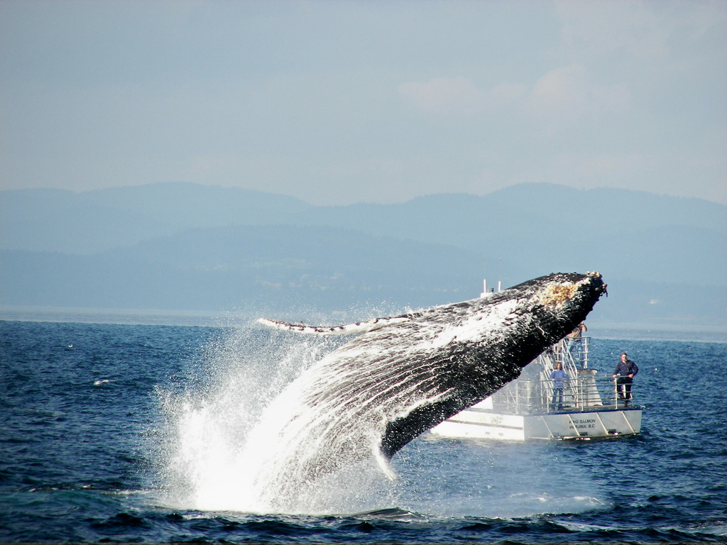 Breaching Humpback by Jacklyn Barrs.jpg