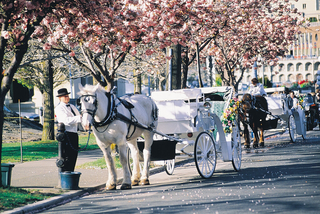 Cherry Blosssom and Carriage Image.jpg