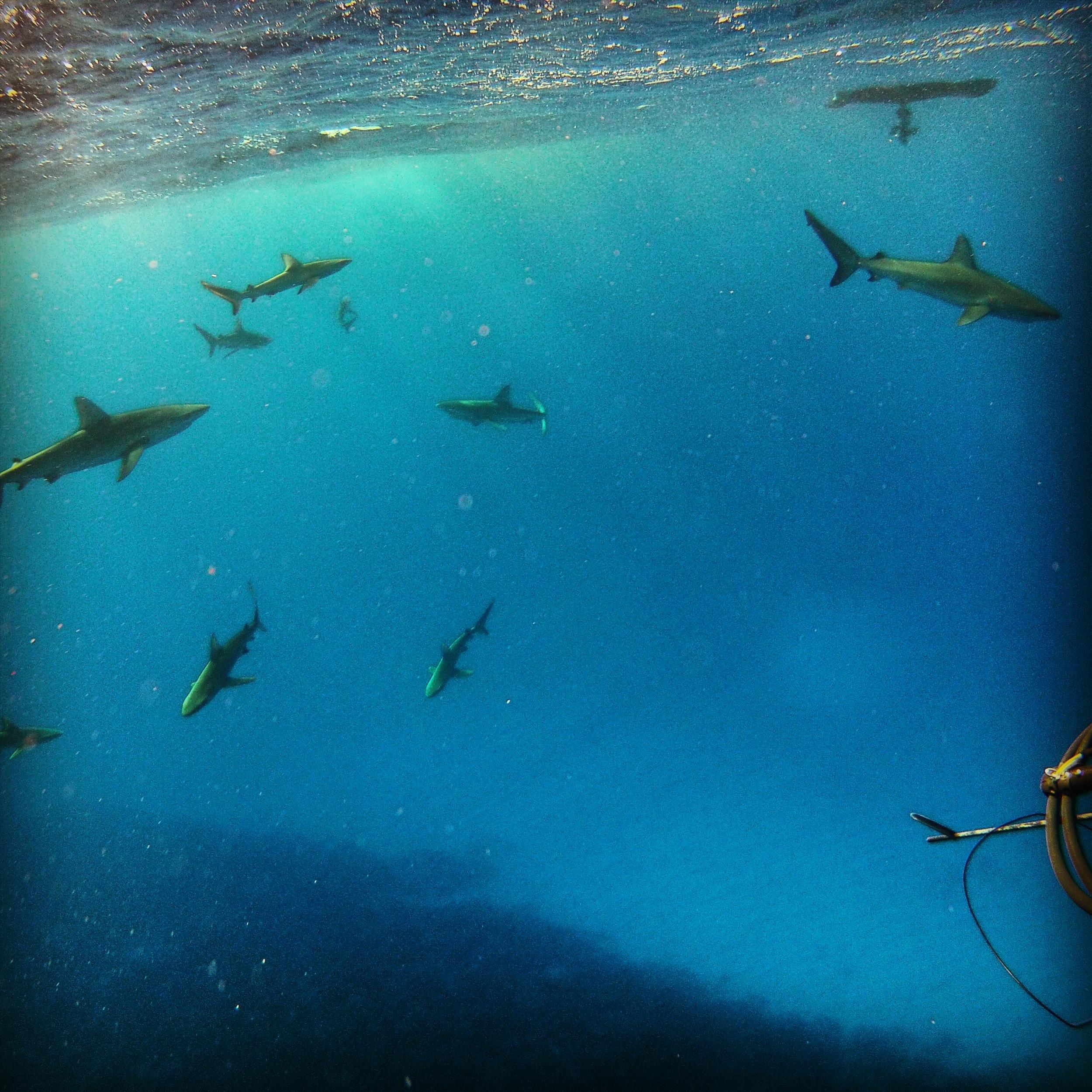 The ever curious Galapagos whaler sharks. Photograph: Julia Wheeler Photography