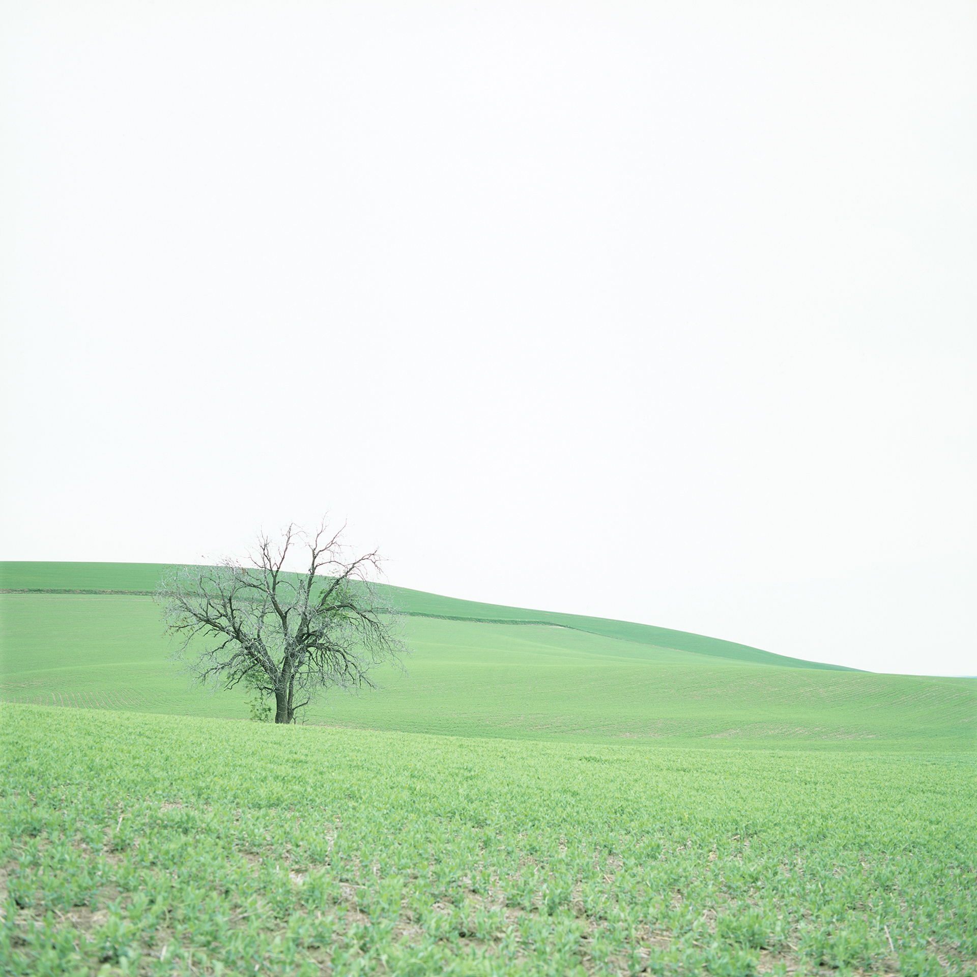 Tree in Green Field, 2018