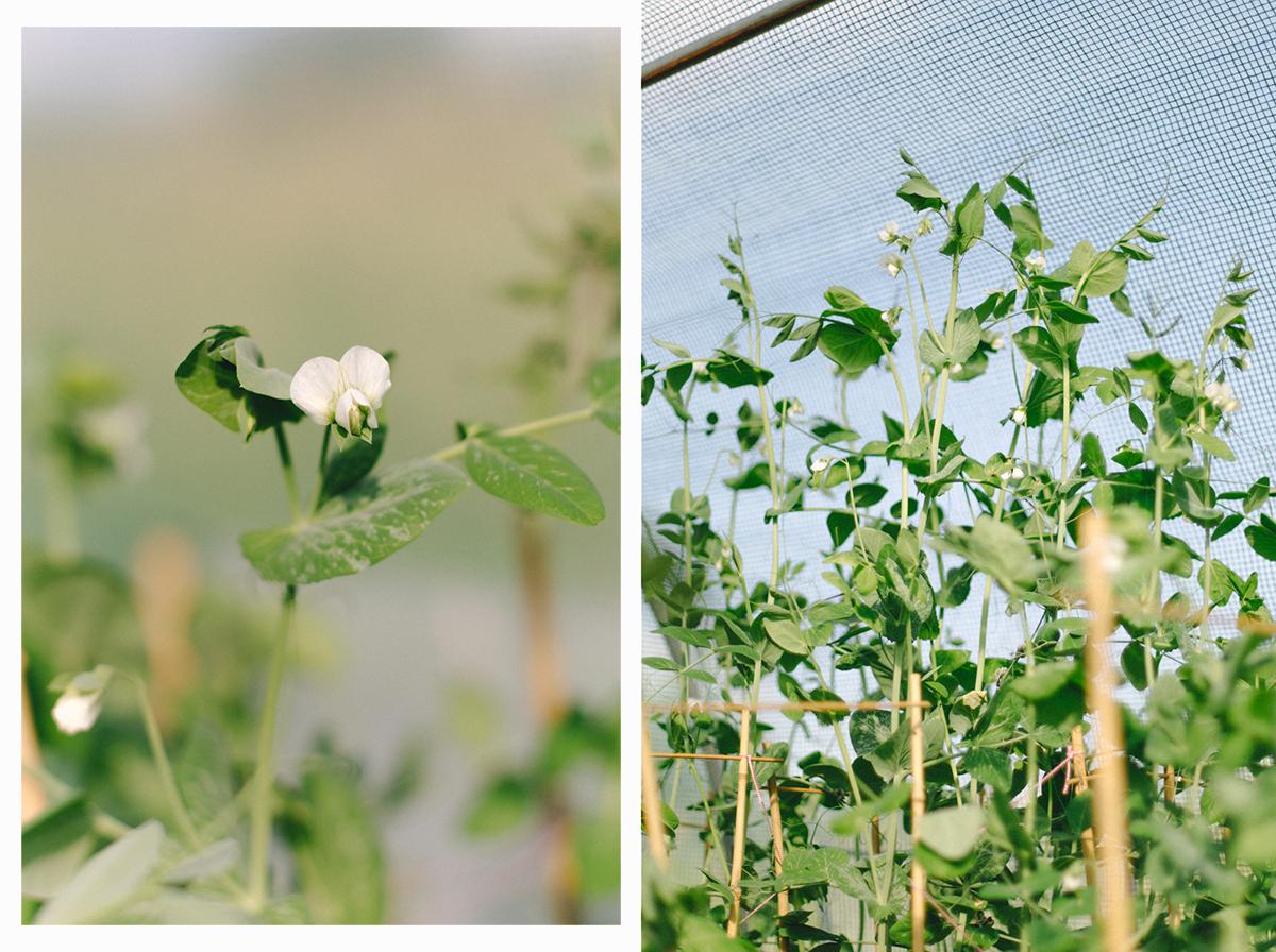 kwiaty groszku
