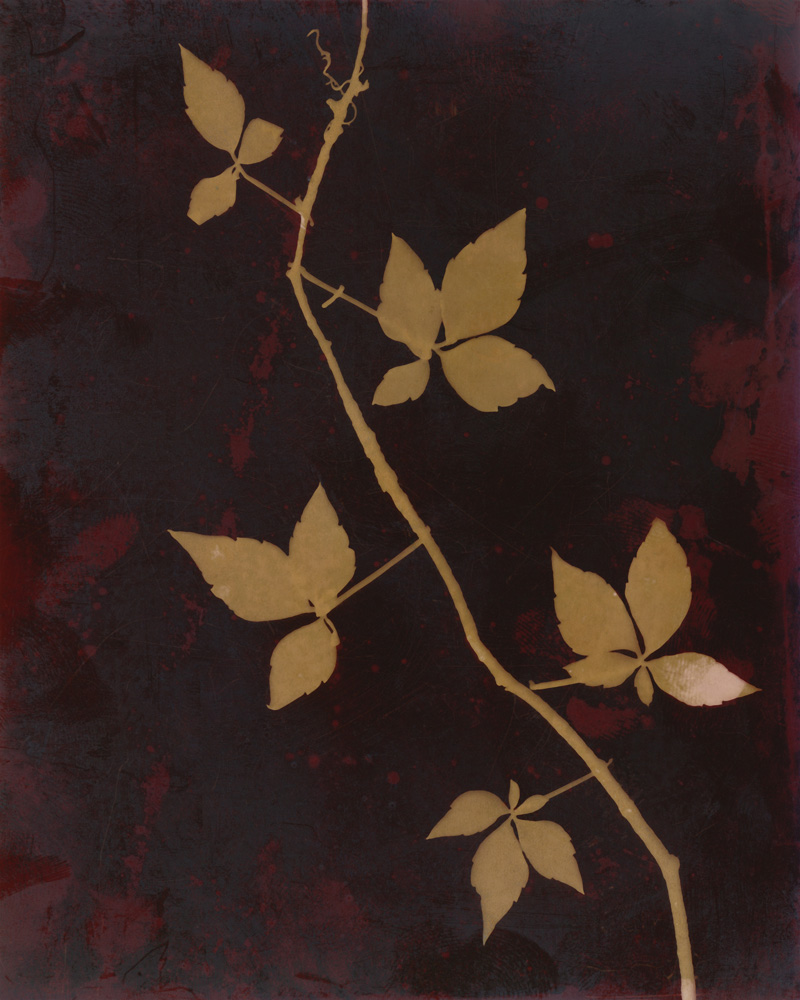 Lumen 87B - Virginia Creeper