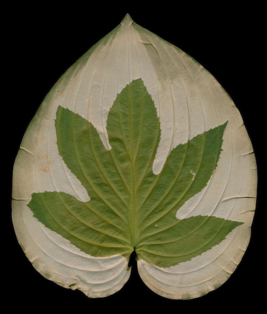 Hydrangea on Hosta