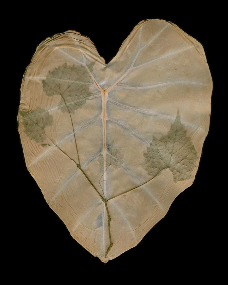 Muscadines on Colocasia