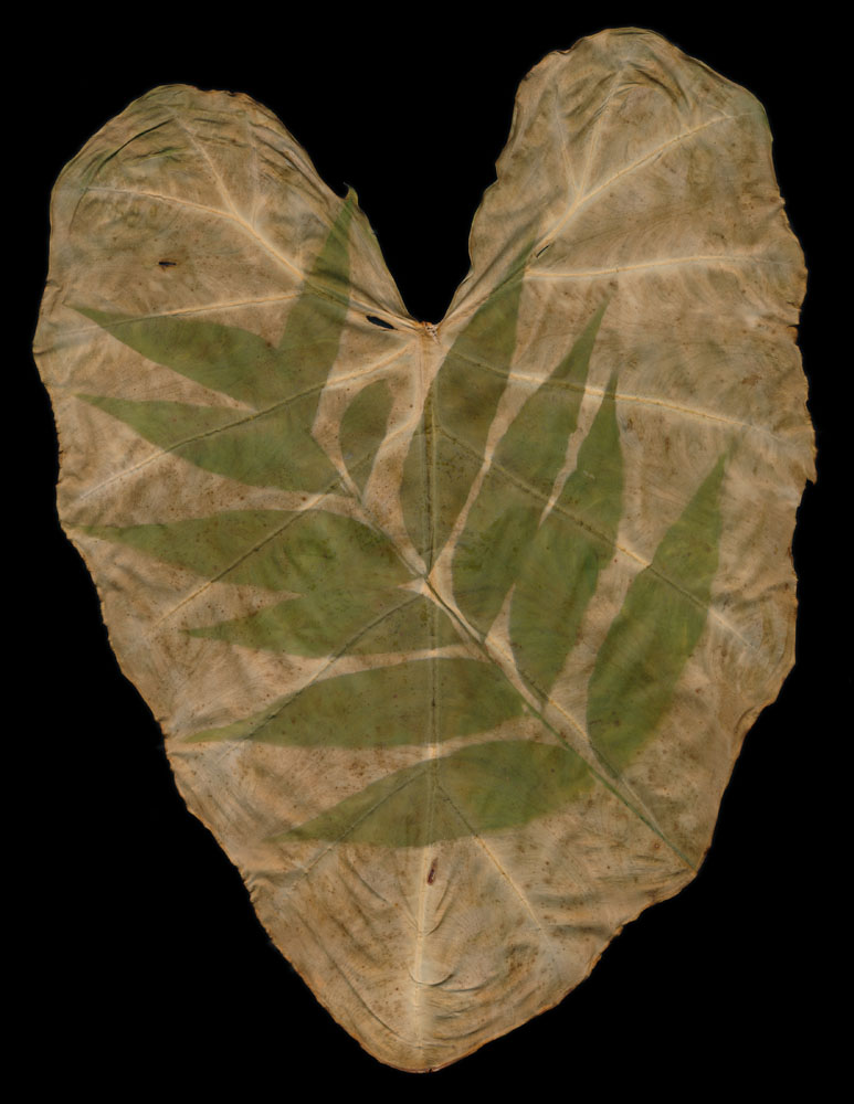 Staghorn Sumac 2 on Colocasia