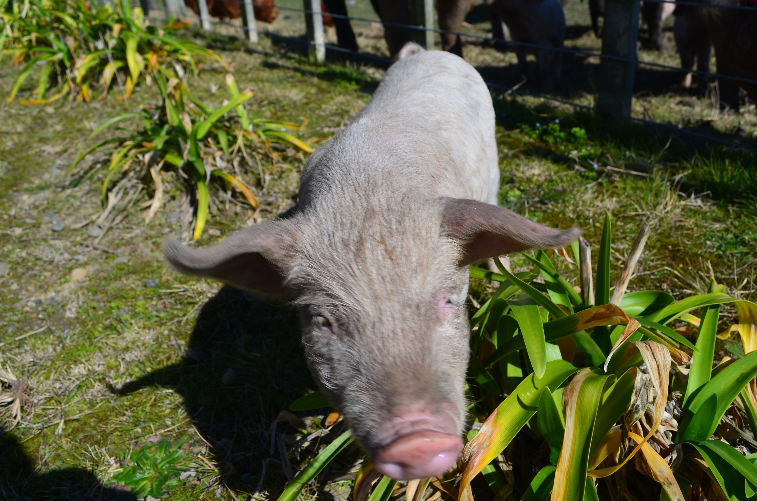 This little piglet got so over excited that he escaped from the pen, and we had to catch him. Oops!