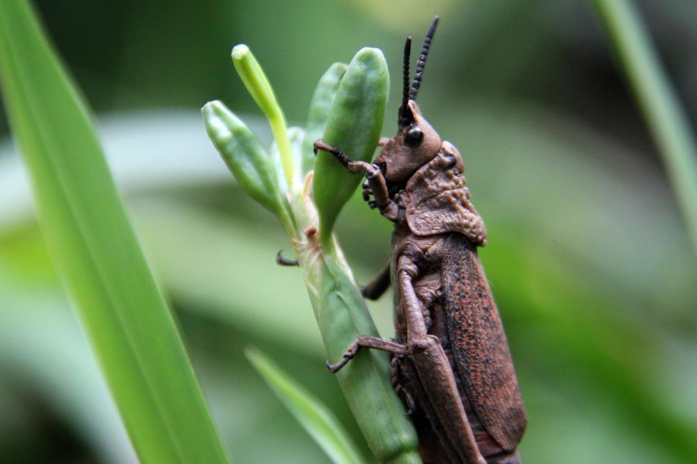 Great horned grasshopper