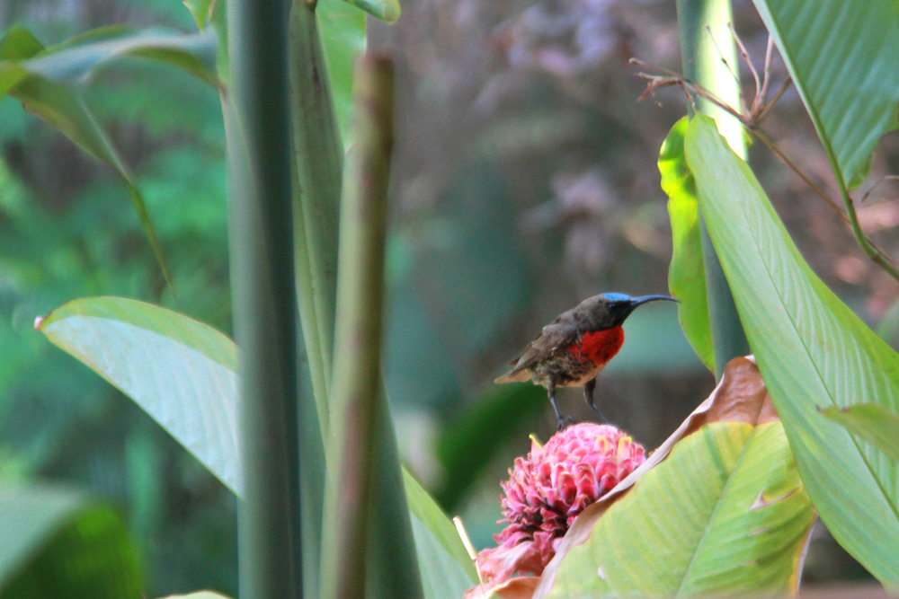 Red-chested scarlet sunbird