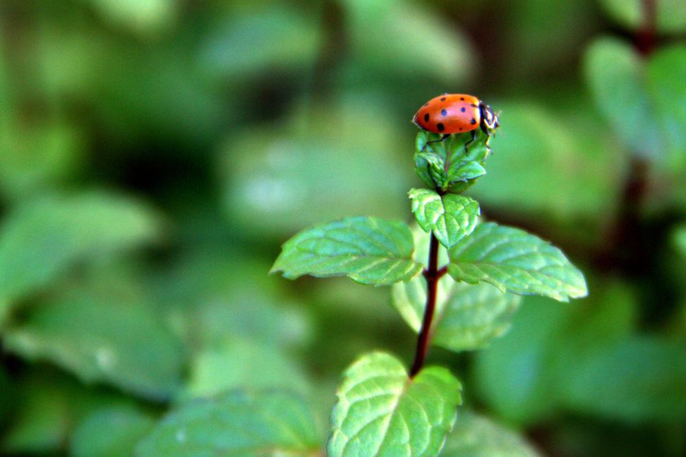 Ladybug on mint leaves