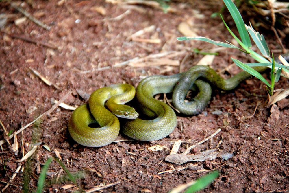 Juvenile brown snake
