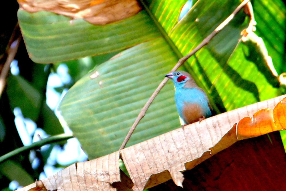Red-cheeked cordon bleu