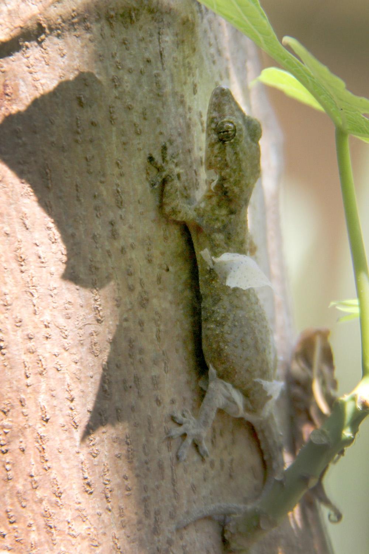 Lizard shedding its skin