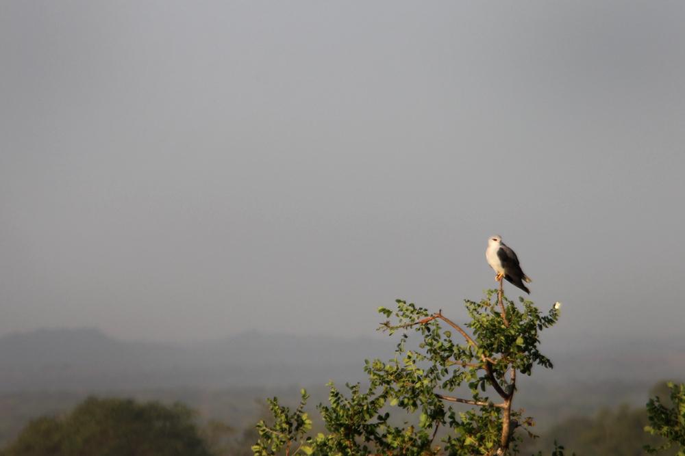 A black-shouldered kite on campus