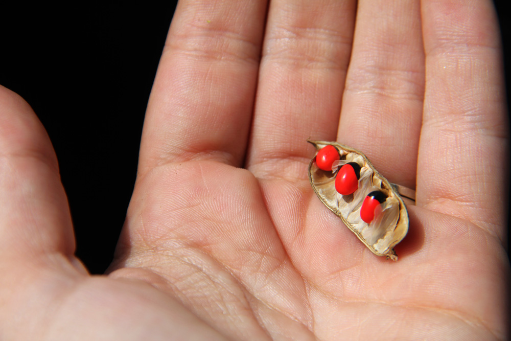 Rosary peas