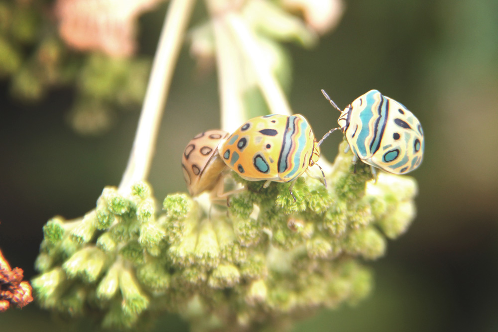 Picasso bugs