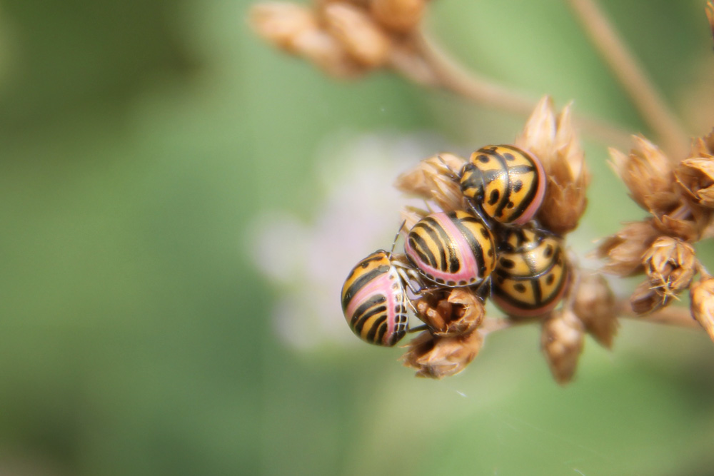 Baby picasso bugs