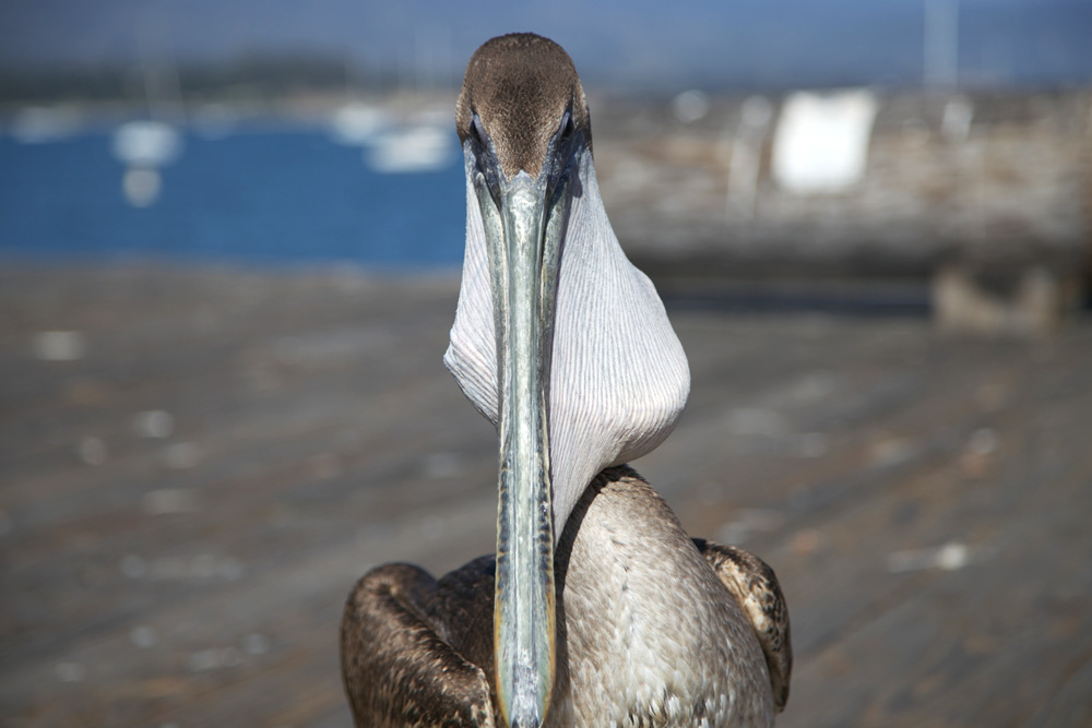 Pelican with a fish in his beak