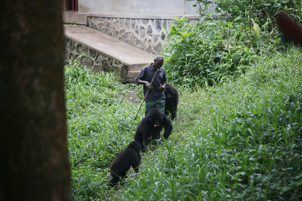 Mikeno's orphanage for mountain gorillas