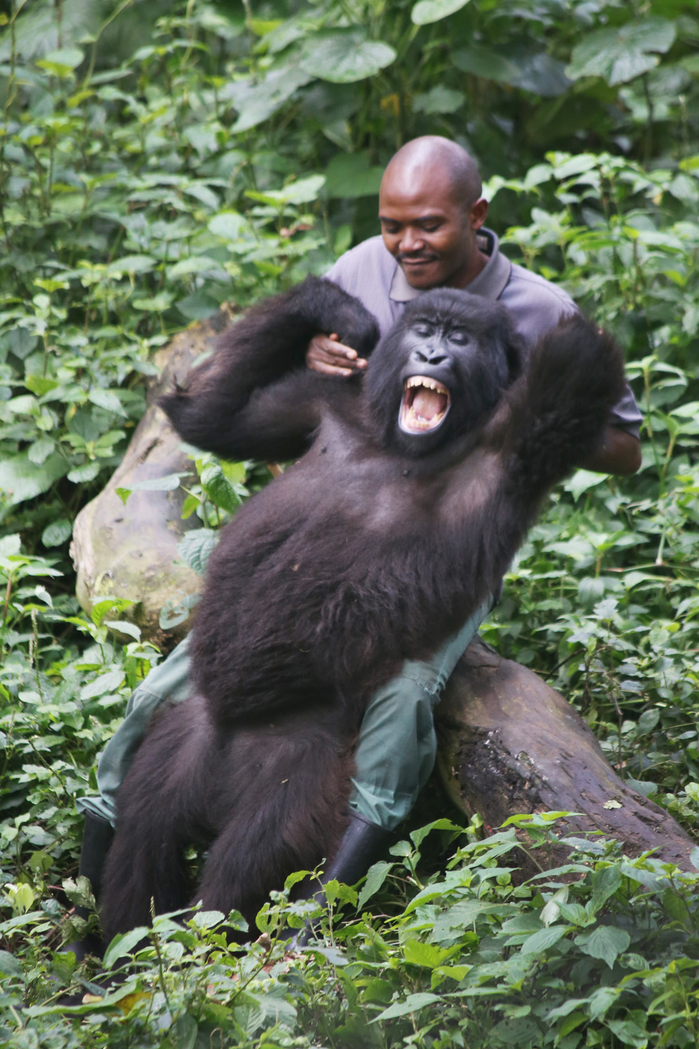 Patrick, tickling his gorilla friend at Mikeno