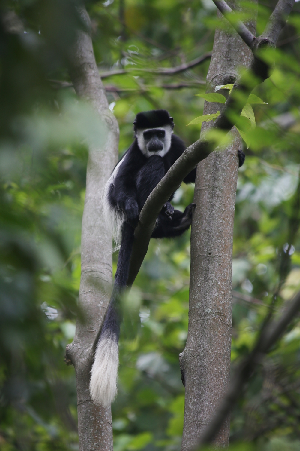 Colobus monkey in the trees near our bungalow