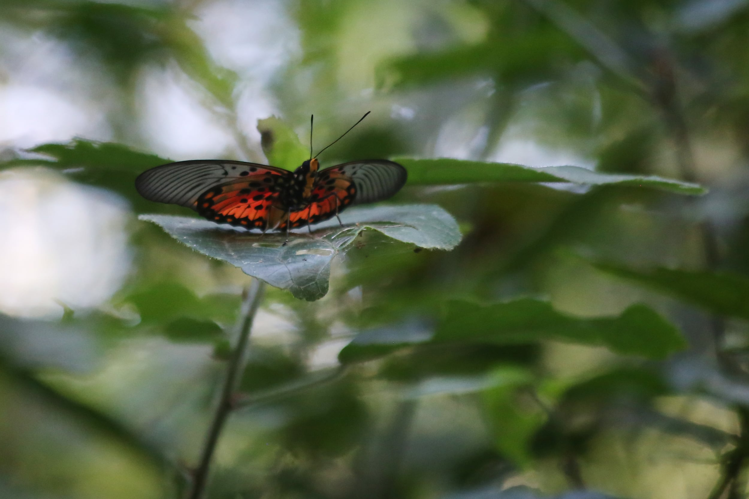 19.9.15 Butterfly in Mpanga Forest.JPG