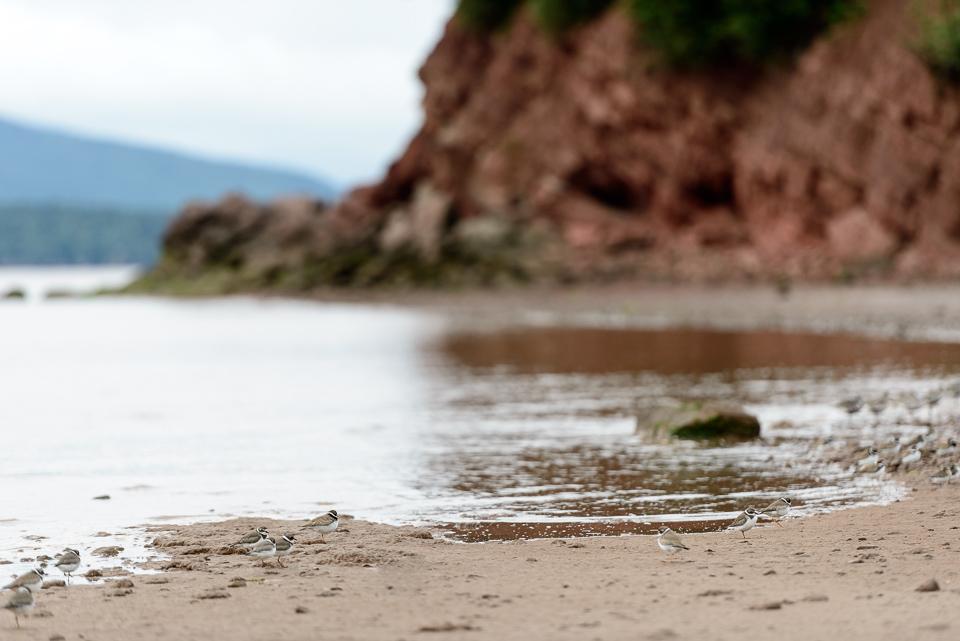 NIgel Fearon Photography | Sandpipers-1.jpg