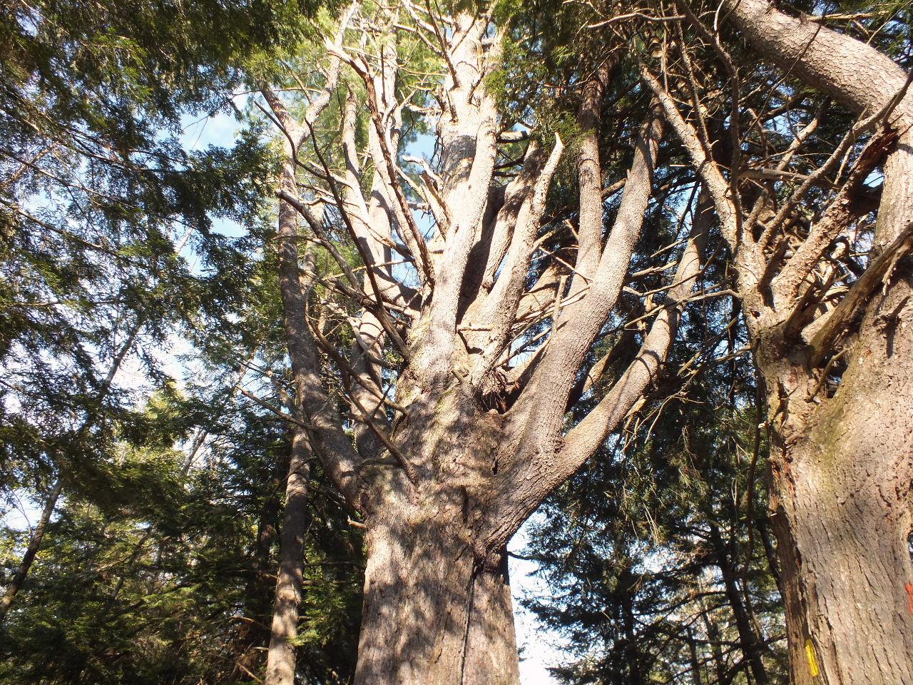 An impressive Lone Wolf Pine.   Photo: Ron Gay