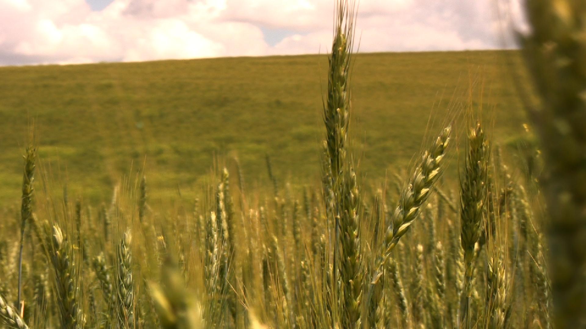Wheat Closeup.png