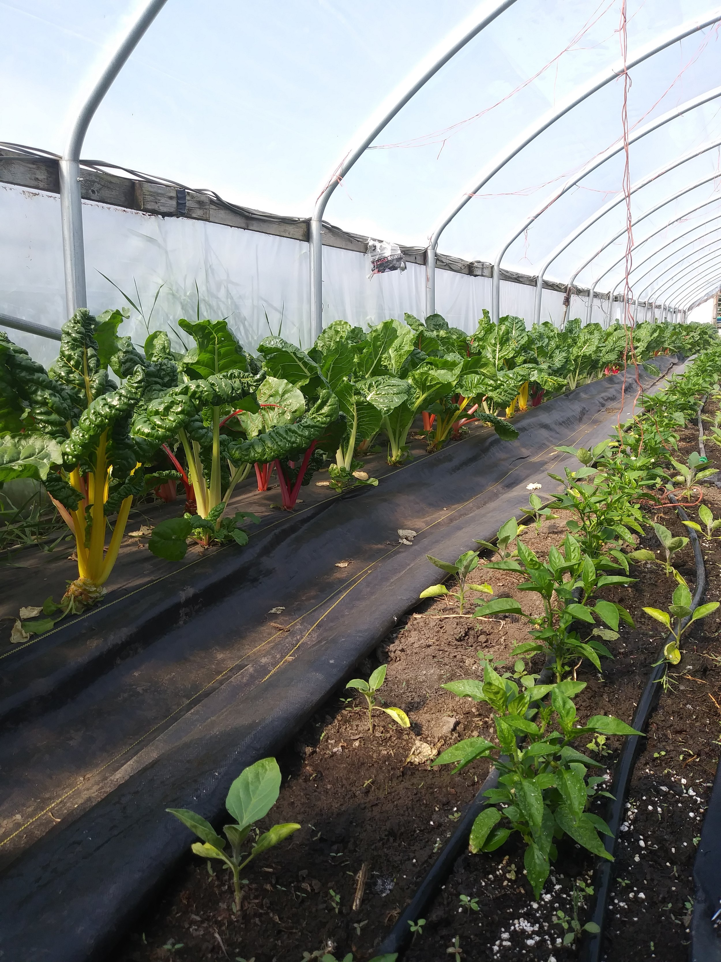 Rainbow chard and peppers growing in a hoop house.