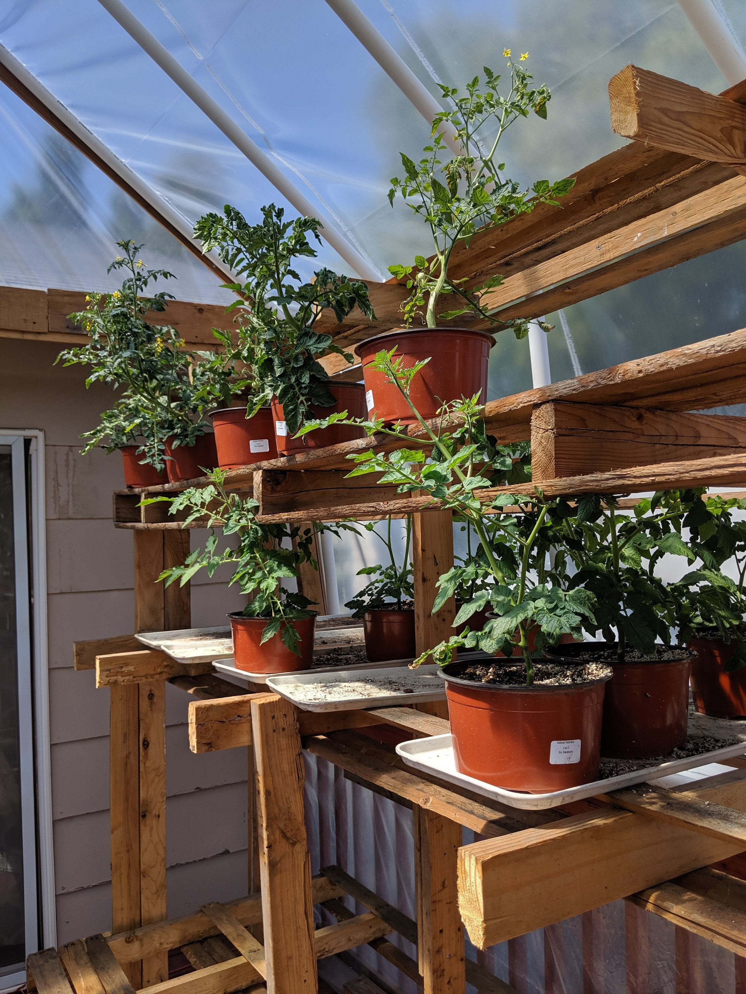 Inside the greenhouse, these tomatoes are all propagated from branches of other tomato plants.