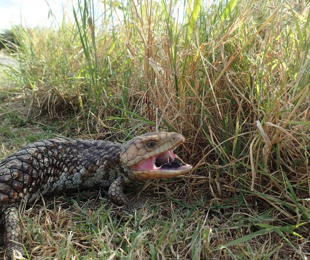 pissed off lizard.jpeg