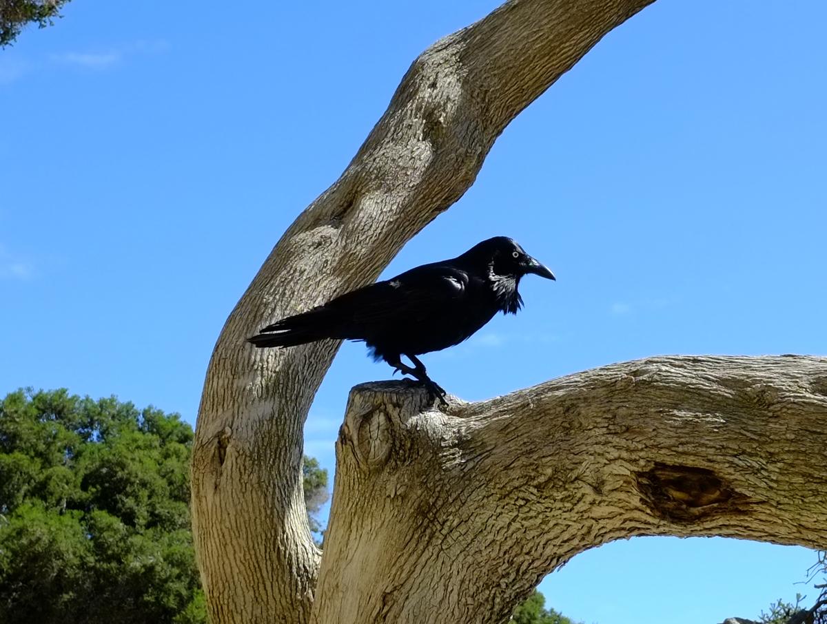 Raven.jpeg