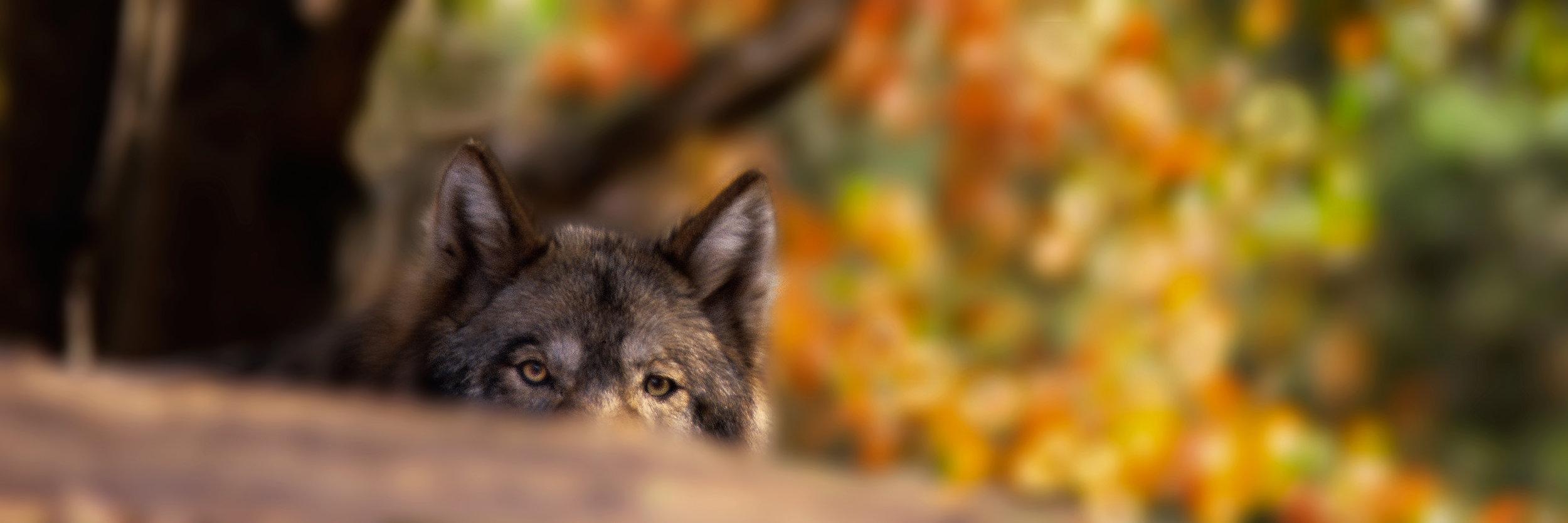 peeking-wolf-2-10x30-blur.jpg