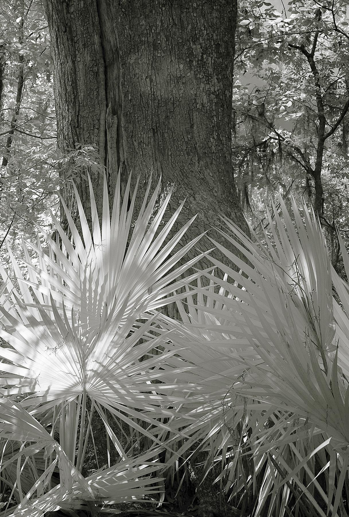 nola - ir - ferns and tree.jpg
