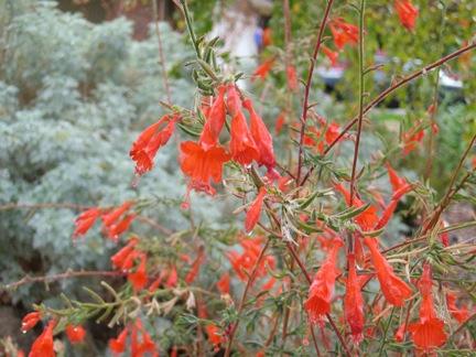 CA Fuchsia.jpg