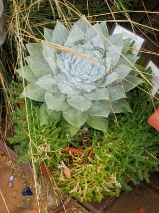 Dudleya and sedum.jpg