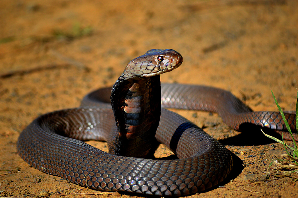 mozambiquan spitting cobra | snakes in my garden | eco balance landscaping