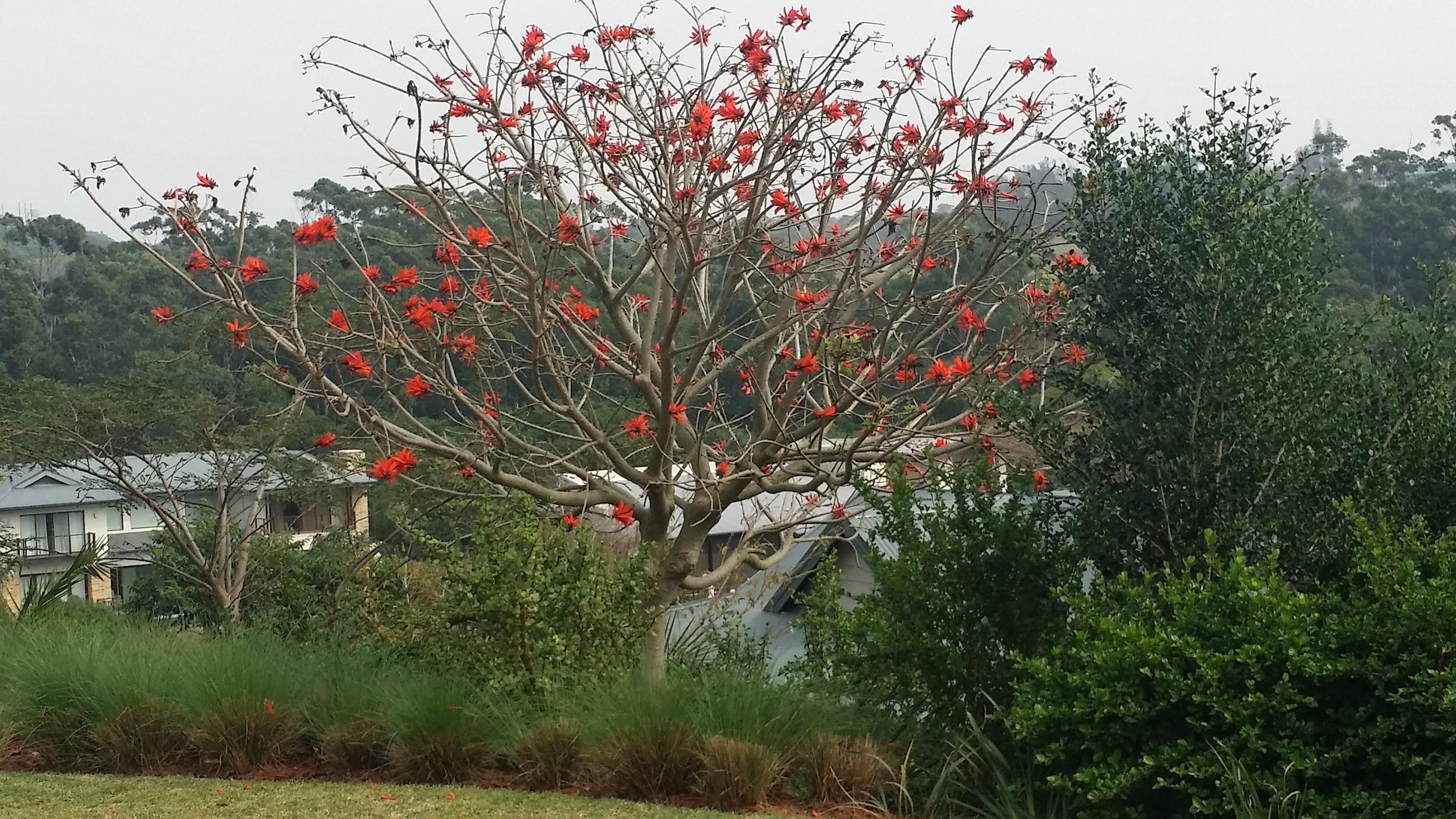 coral trees.jpg
