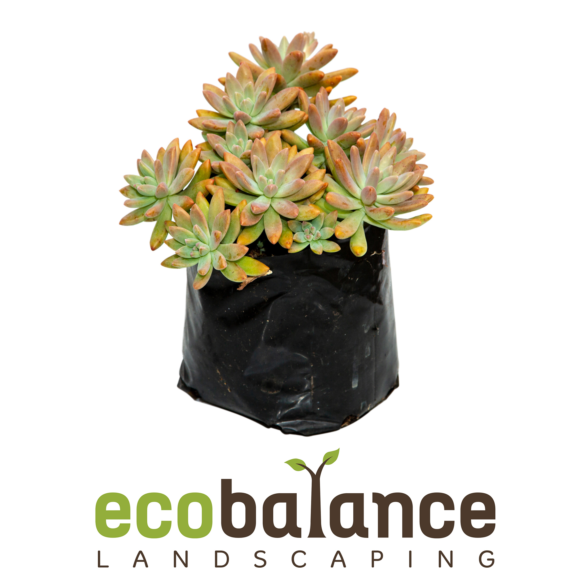 Sedum grey - Waterwise, resilient rock garden or container plantPRICE: R34.35 incl. VAT