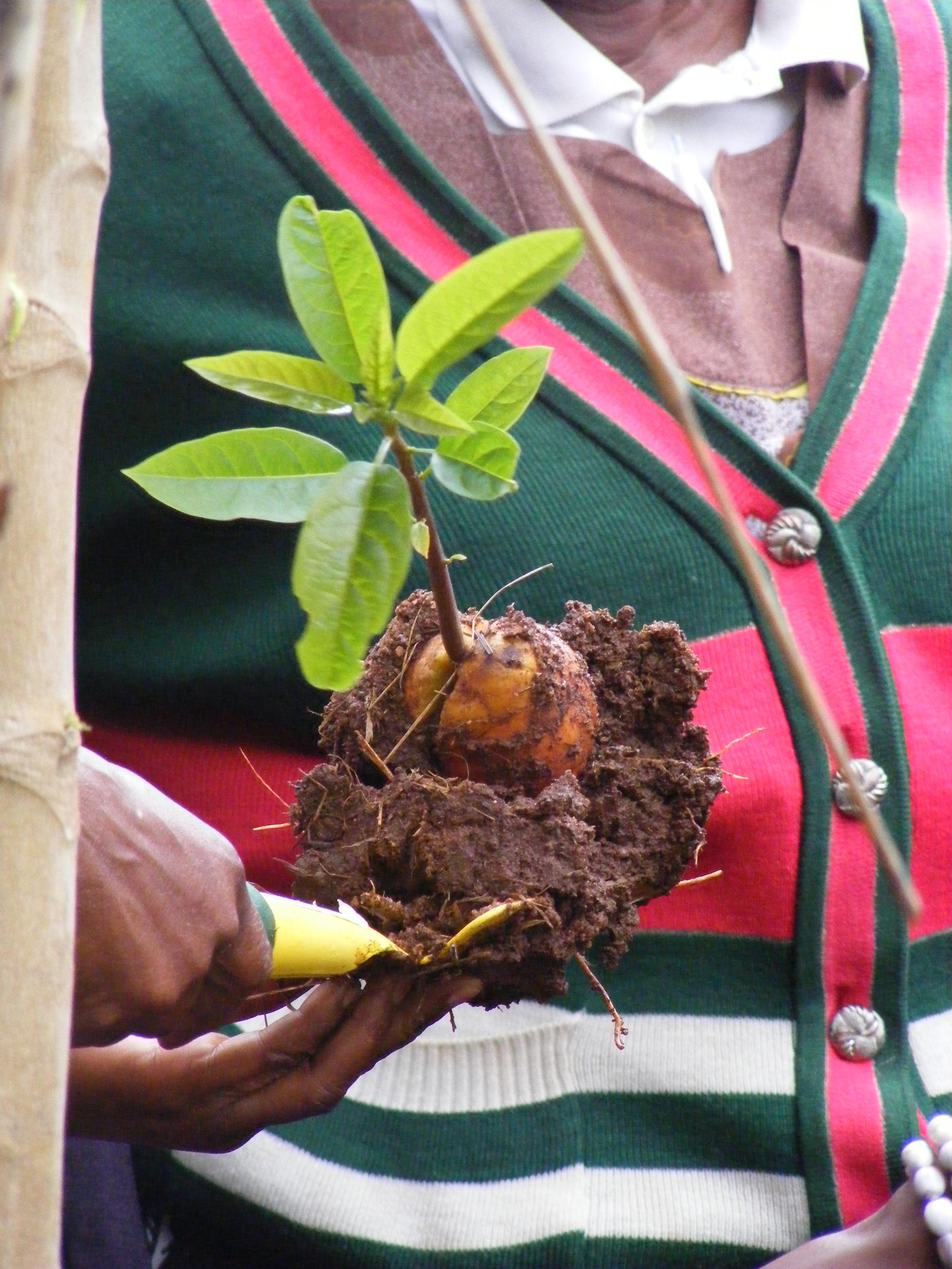 avocado sapling - bagging up.JPG