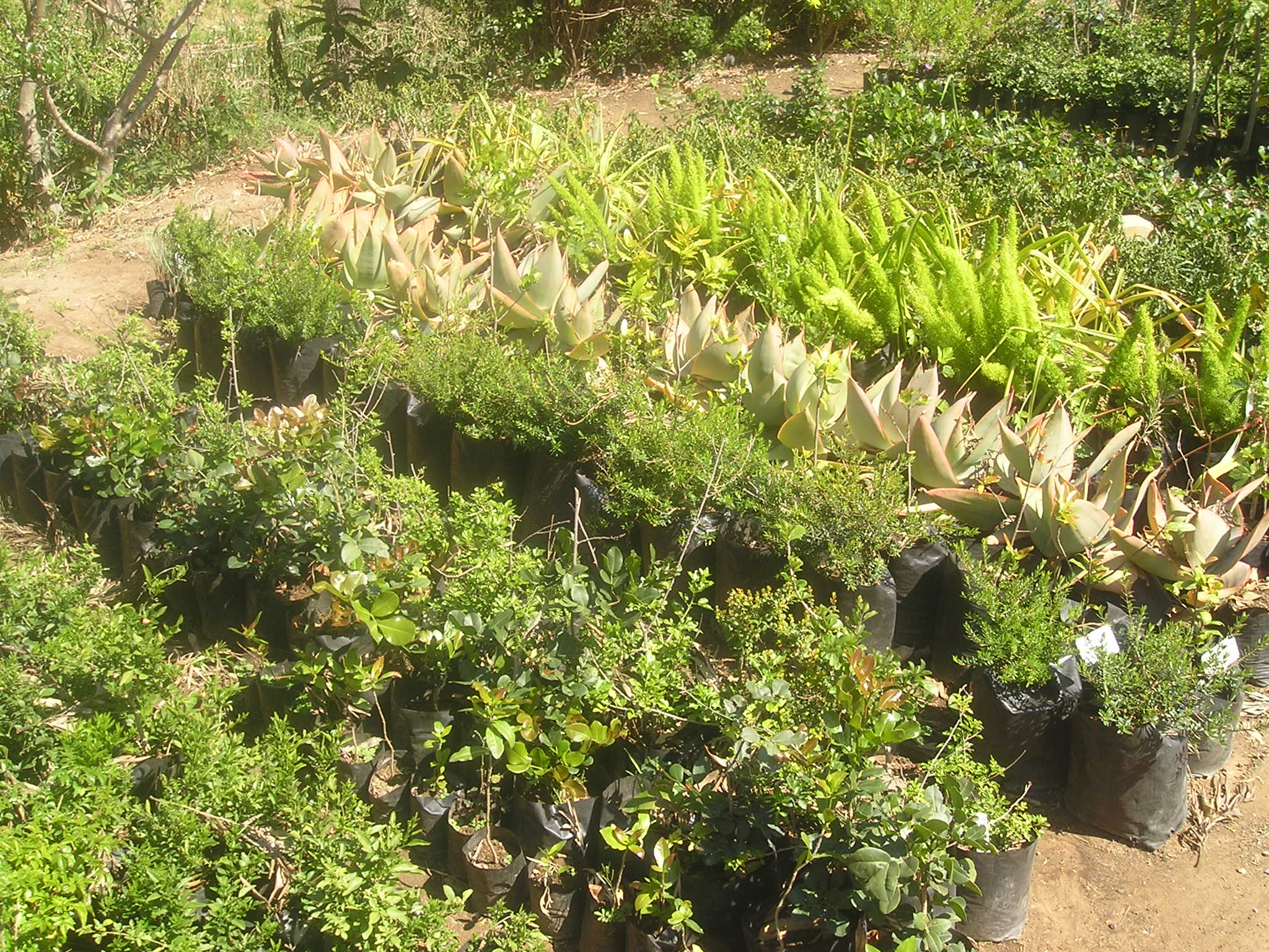 Cultivation of culturally and medicinally important species to protect wild populations from over-harvesting. Africulture Project.