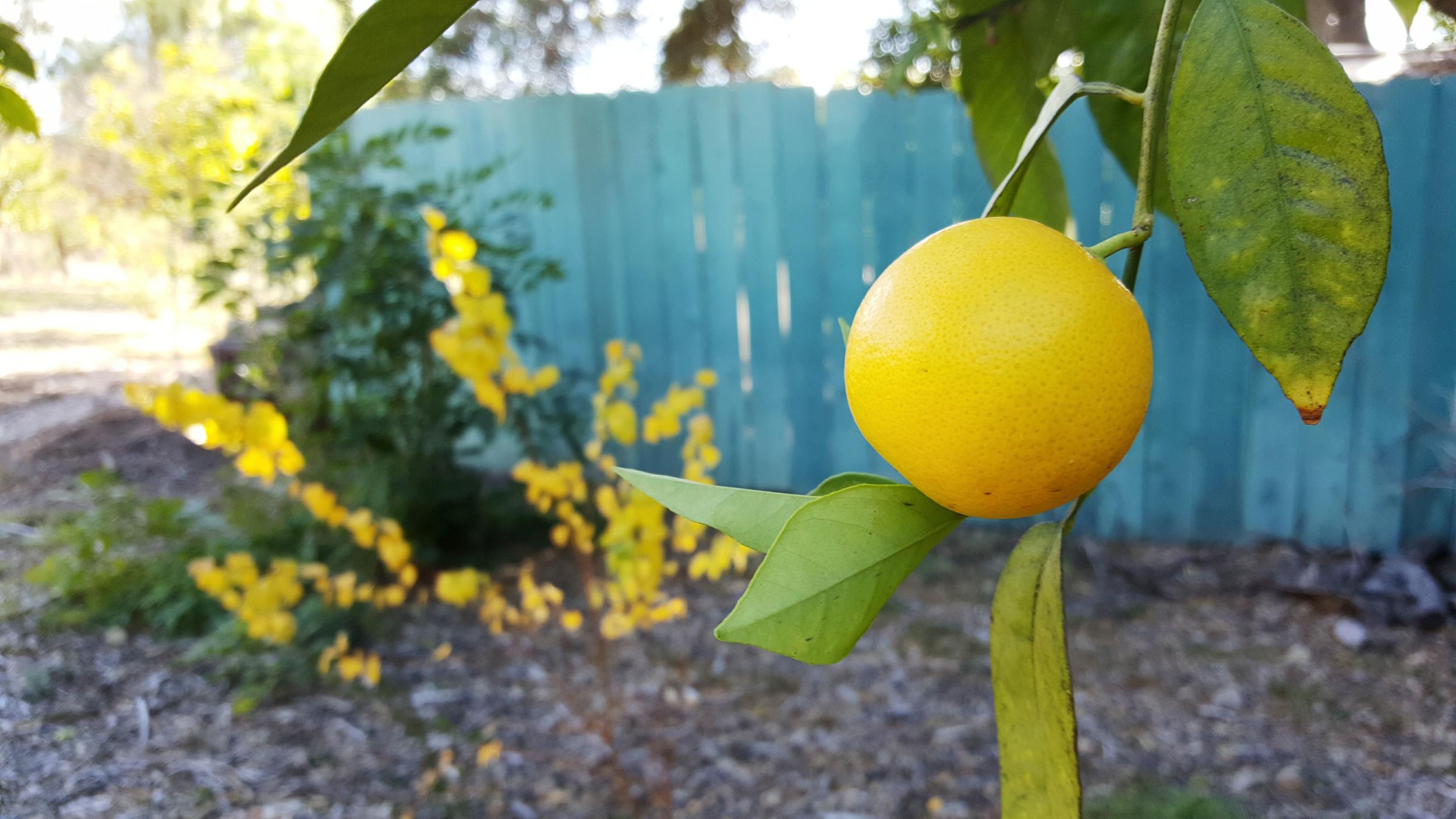 Orange grove of the Pepper Tree Retreat Center in Ojai, CA