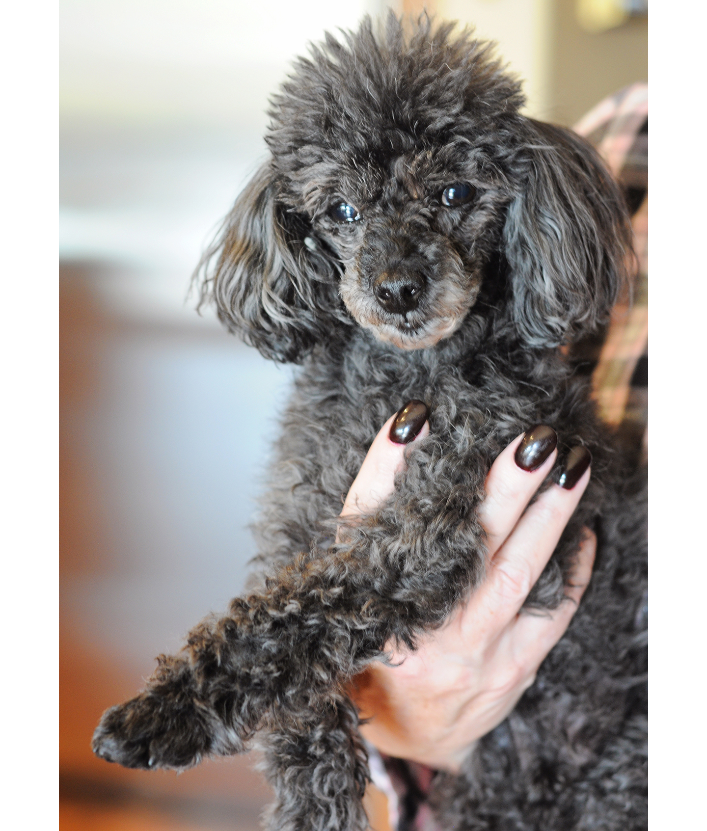 poodle-in-chief-anjin.jpg