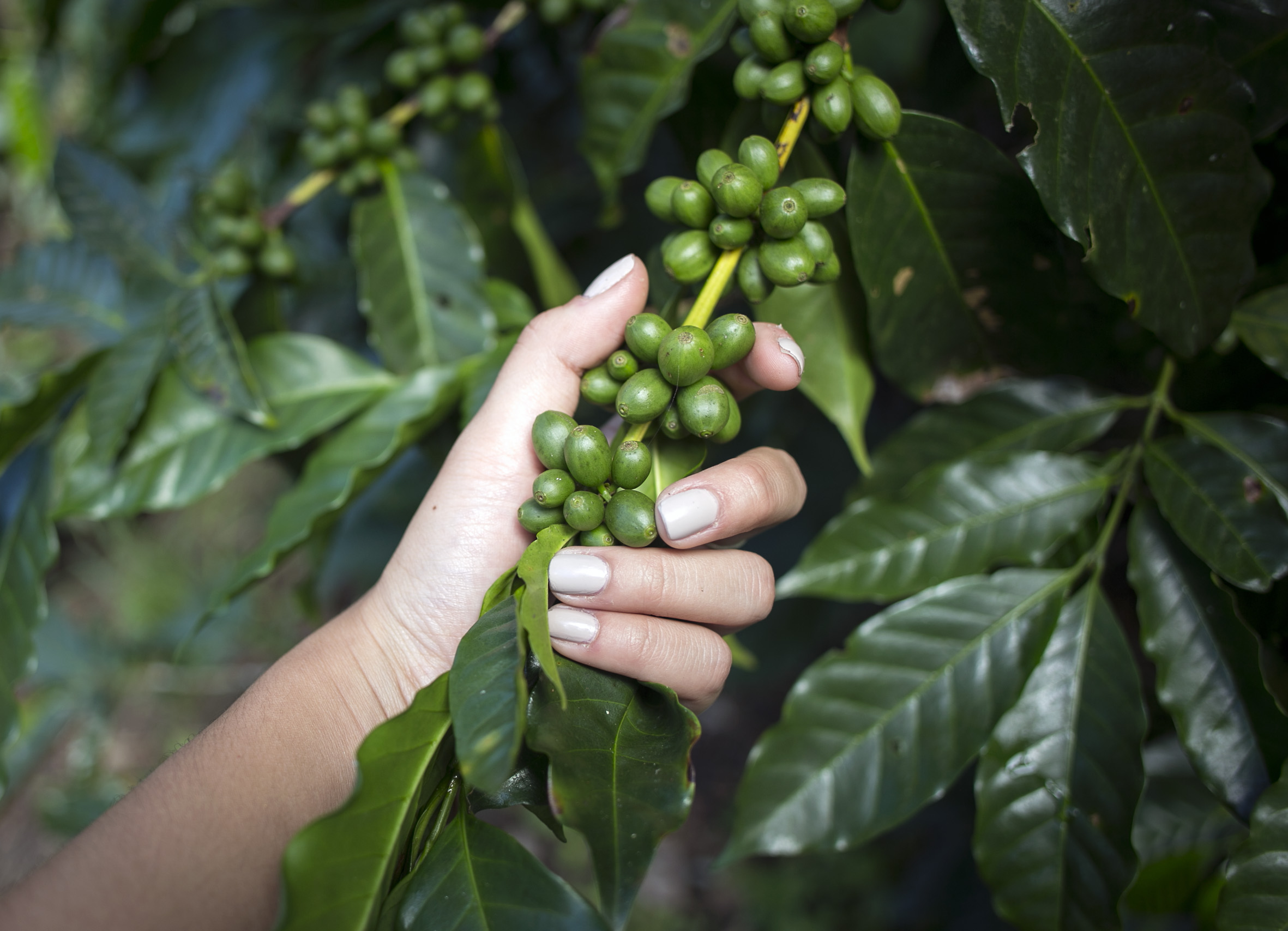 Coffee cherries appear green when unripe and immature. When la roya strikes a plant, the leaves will turn a orange, brown, rusty color and signifies no cherries can be picked from that plant.