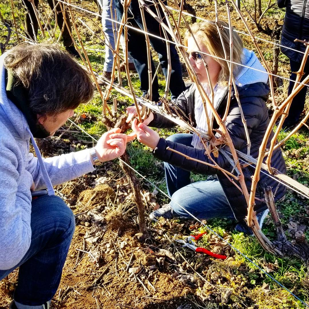 Pruning lesson for Corvina grapes in Bertani's vineyards in the Veneto.