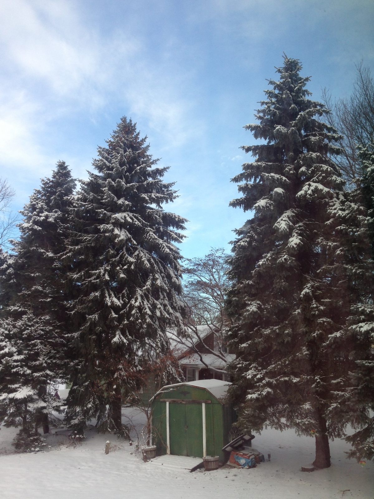 The lovely pines in my back yard were my landlord's kids' Christmas trees.