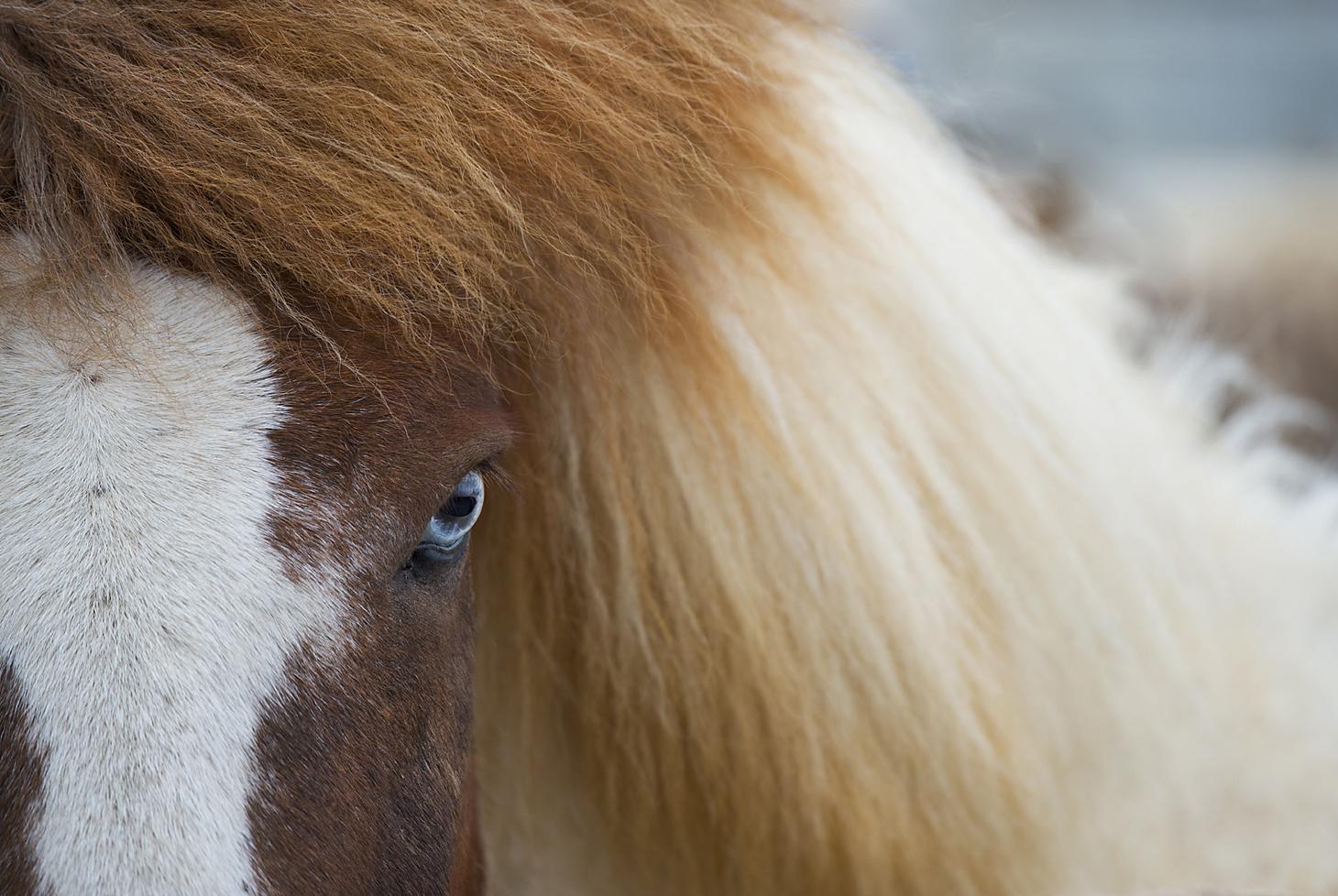 Layne Kennedy-Blue-eyed Icelandic Horse-1_LCK9688.jpg